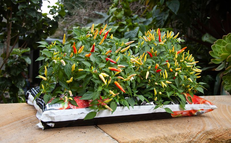 Chilli plant with lots of chillies growing out of a bag of Richgro planting mix