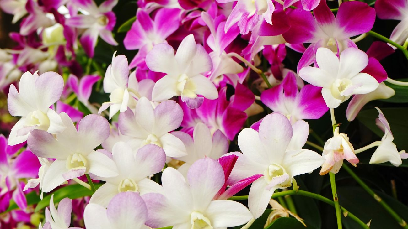 Close up of pink and white orchid flowers