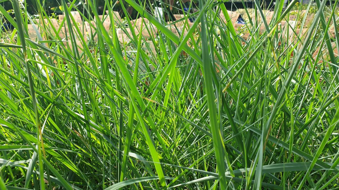 Native lemon grass
