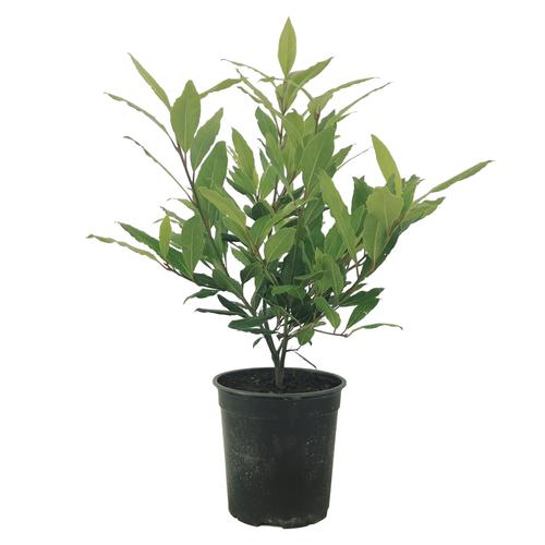 3.5L Bay Tree - Laurus Nobilis