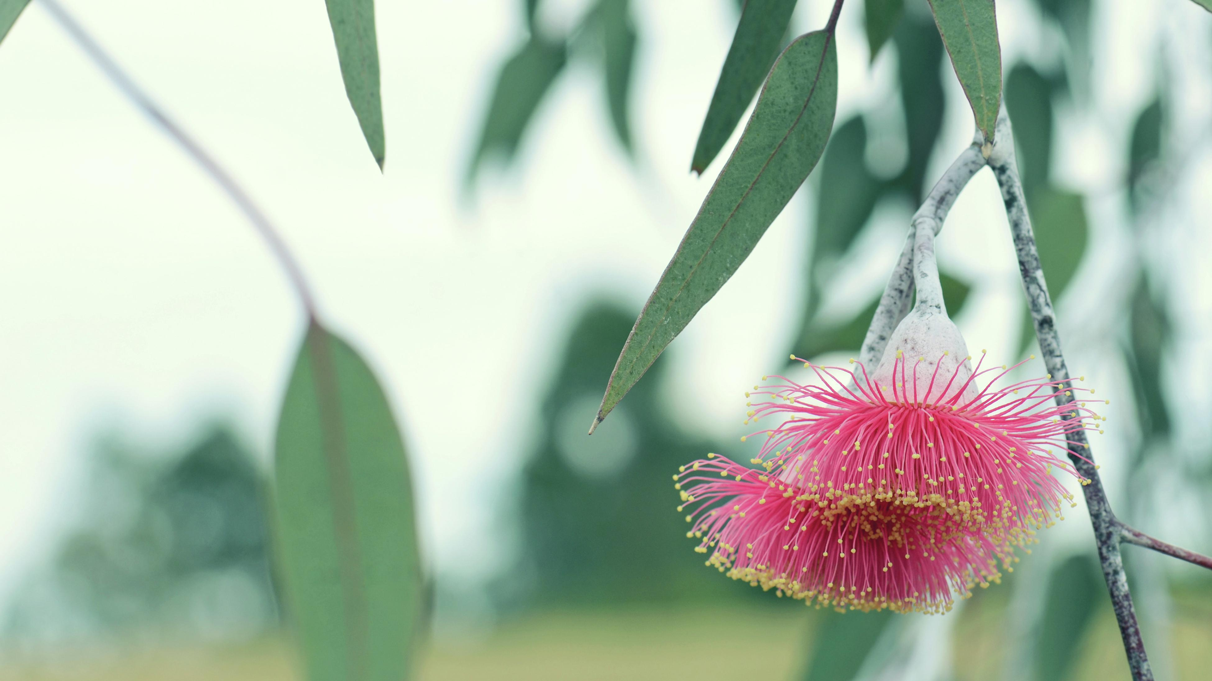 A pink flower and leaves on a gum (eucalyptus) tree