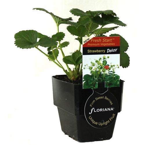125mm Strawberry Delizz - Fragaria ananassa - Floriana Fresh Start Range