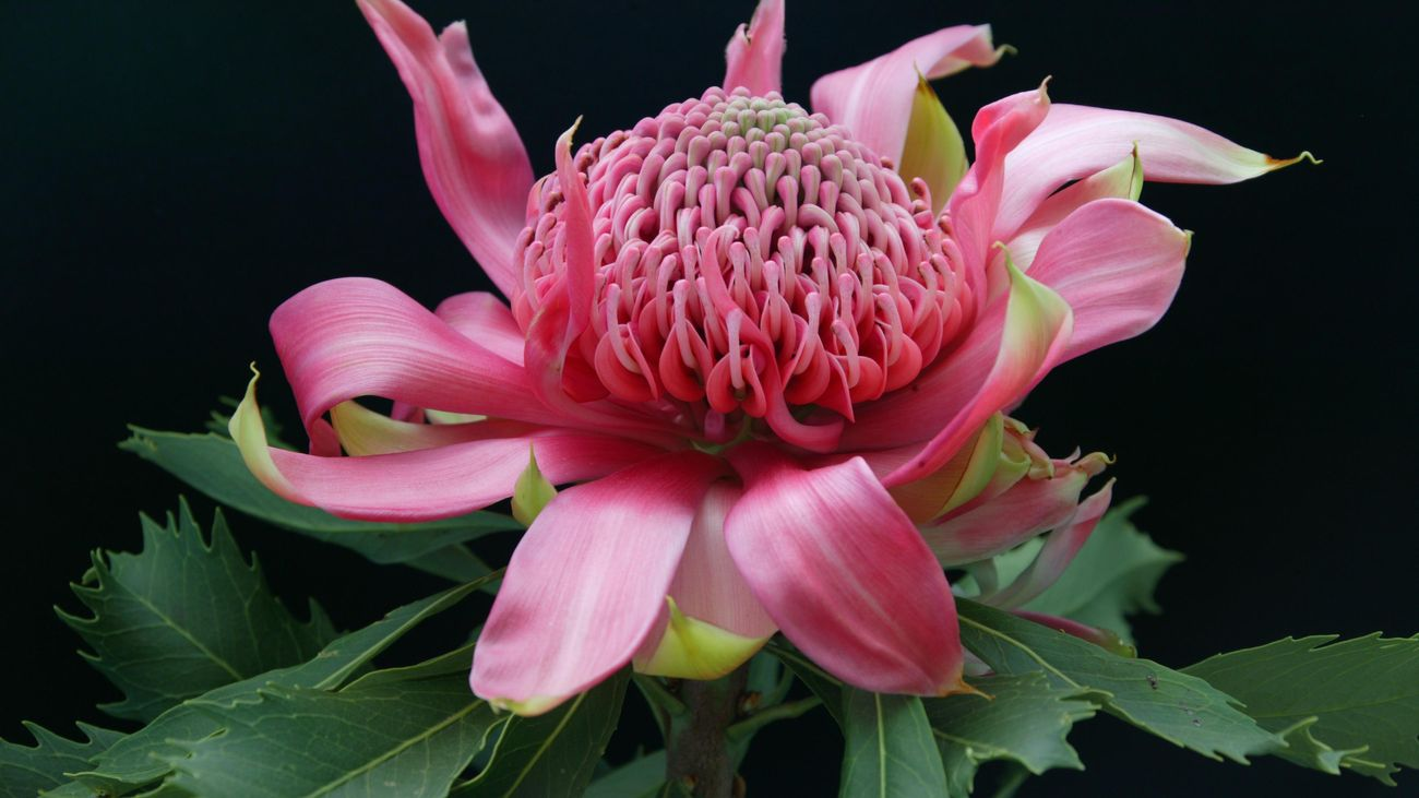 Close up of a pink waratah flower against a black background