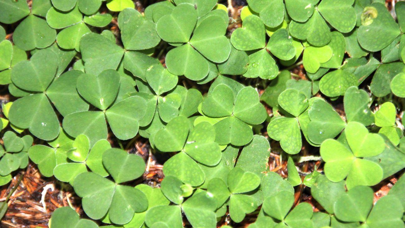 Clover-like weeds