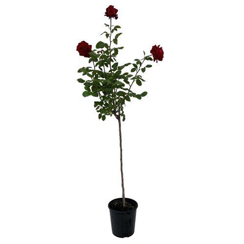 6L Standard Rose - Rosa