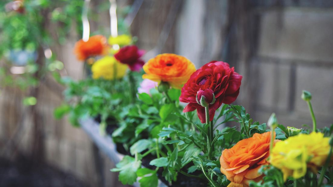 colourful ranunchulus flowers in pots outside