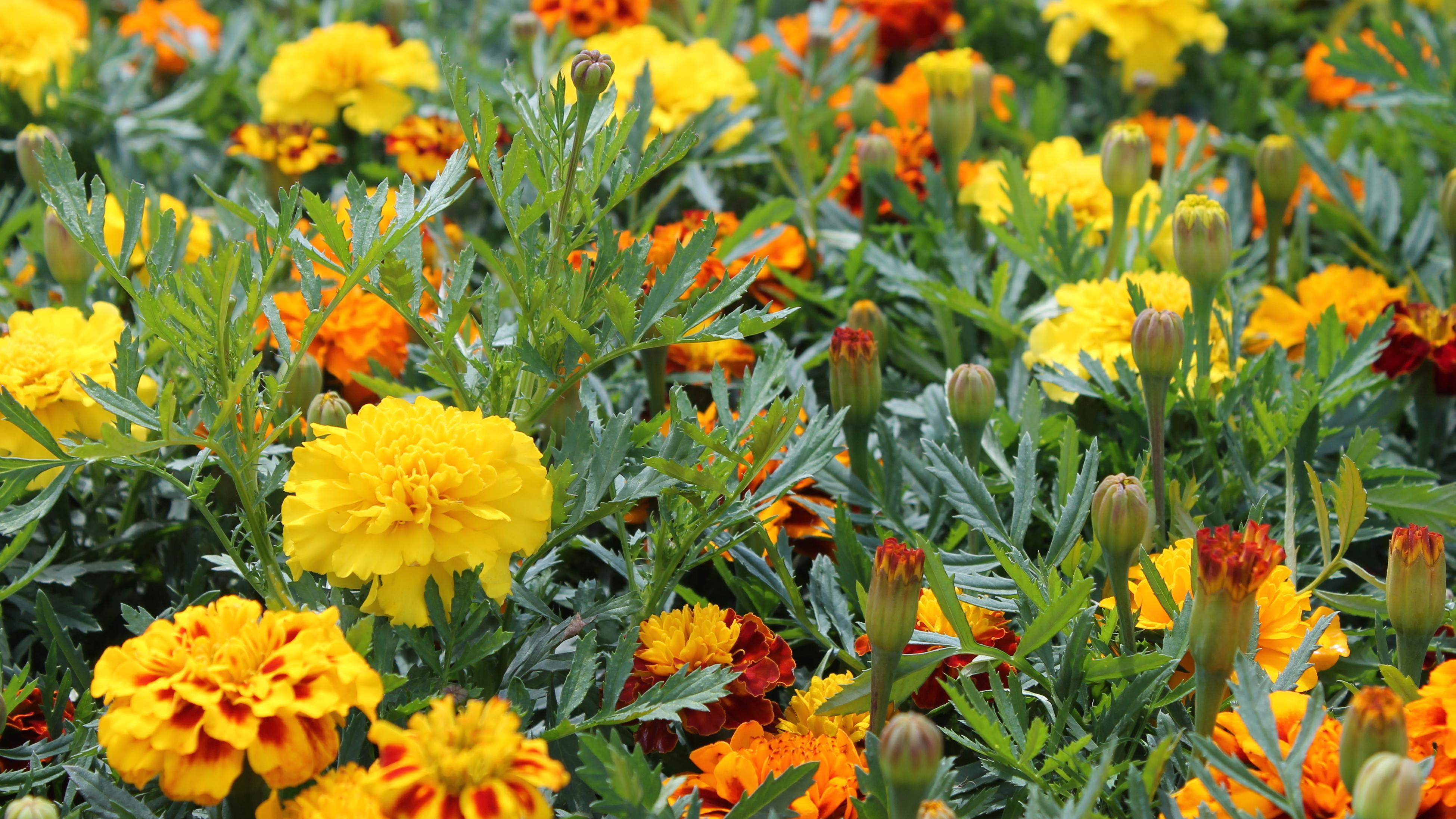 Bright yellow marigolds in flower.