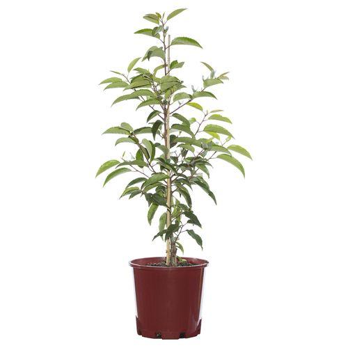 200mm Portuguese Laurel - Prunus lusitanica