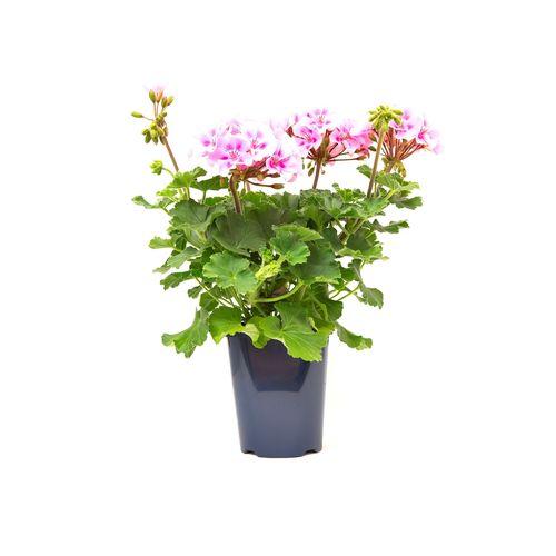 150mm Garden Jewel Geranium Zonale