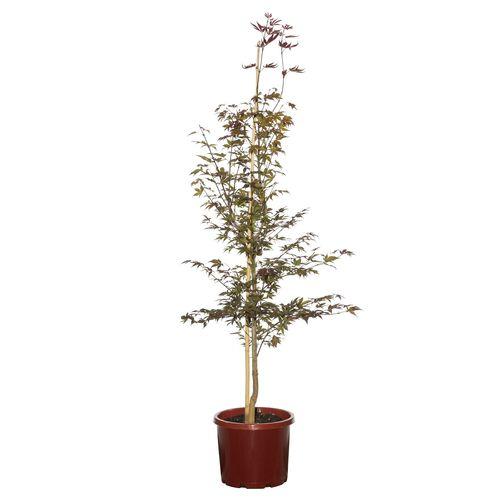 330mm Purple Japanese Maple - Acer palmatum Atropurpureum