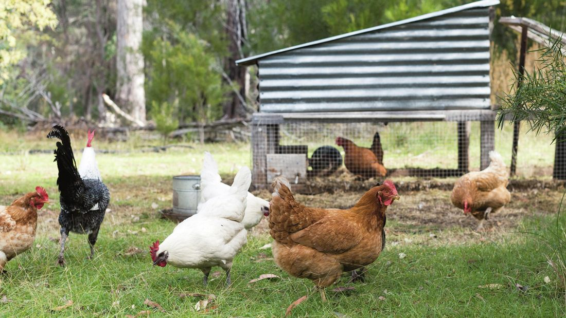 White and brown chickens roam in an outdoor setting in the grass.