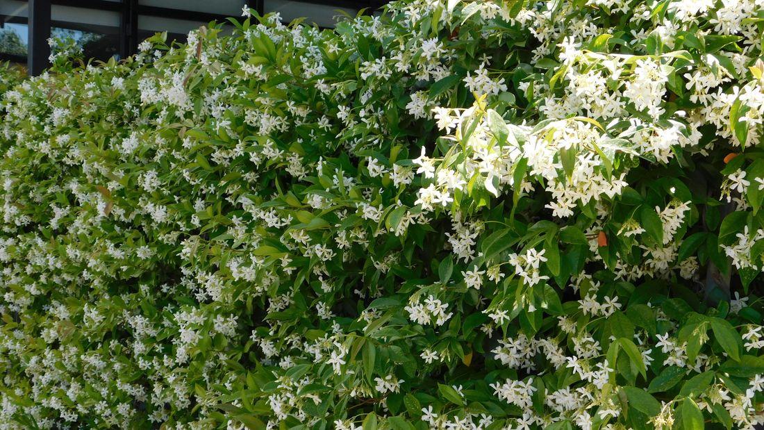 star jasmine hedge with flowers