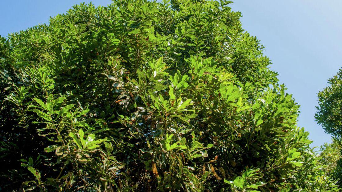 A row of Beaumont macadamia nut trees