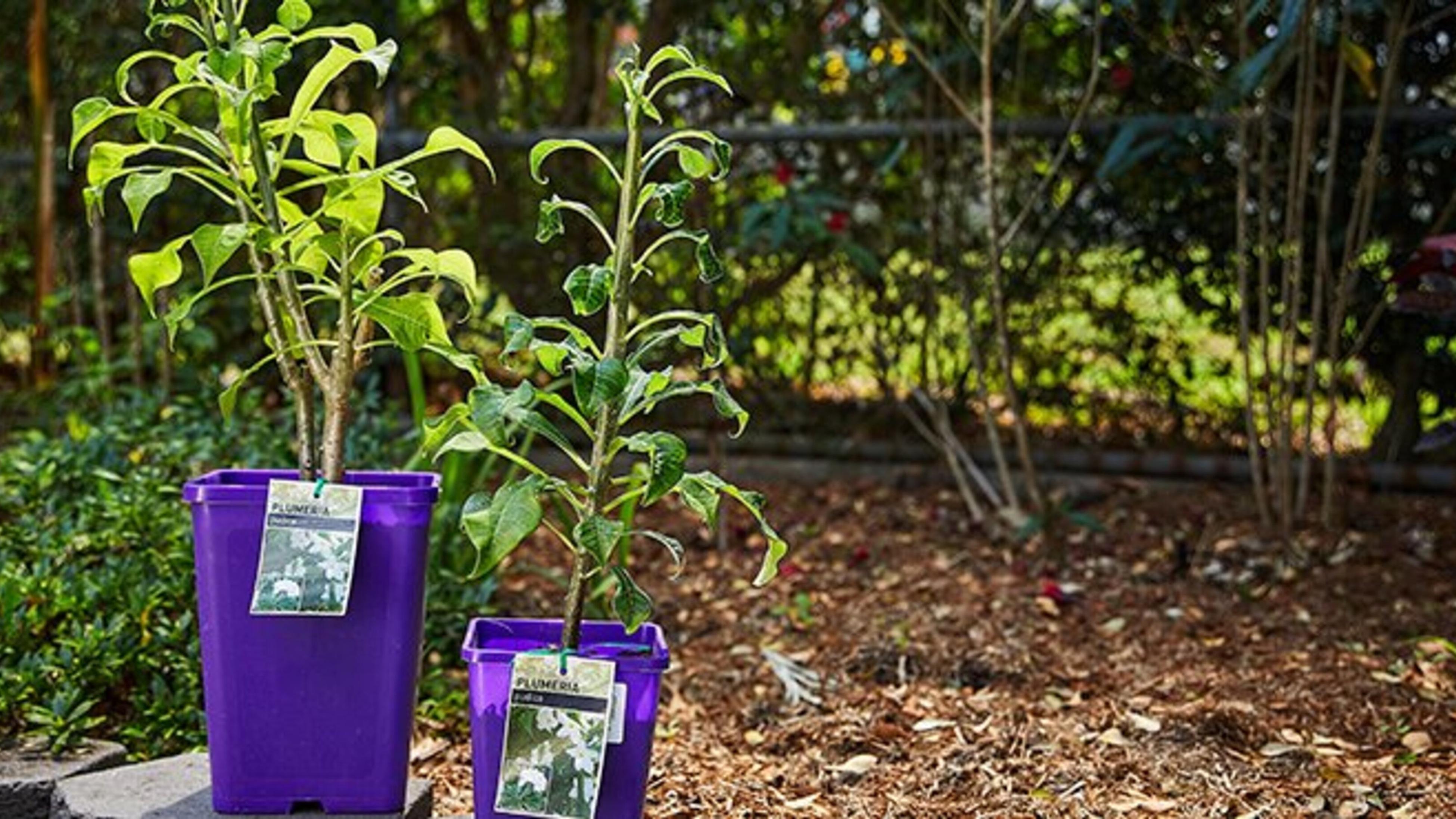 Two plumeria plants in purple plastic pots