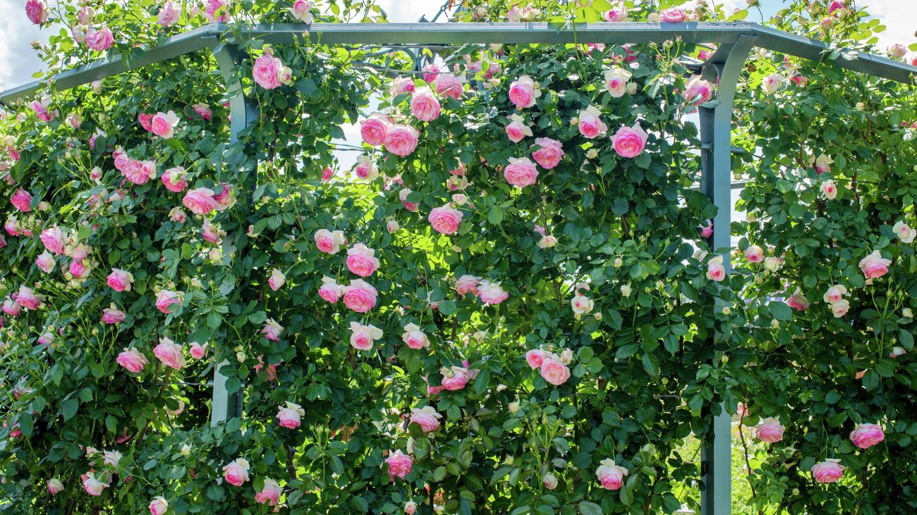 The climbing rose plant, known as the Jasminoide.