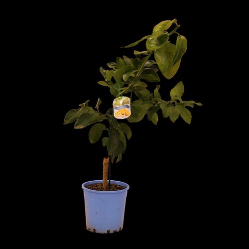 200mm Grapefruit Dwarf Marsh - Citrus × paradisi