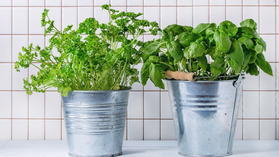 Two metallic pails with herbs growing from them, in front of a white tiled wall