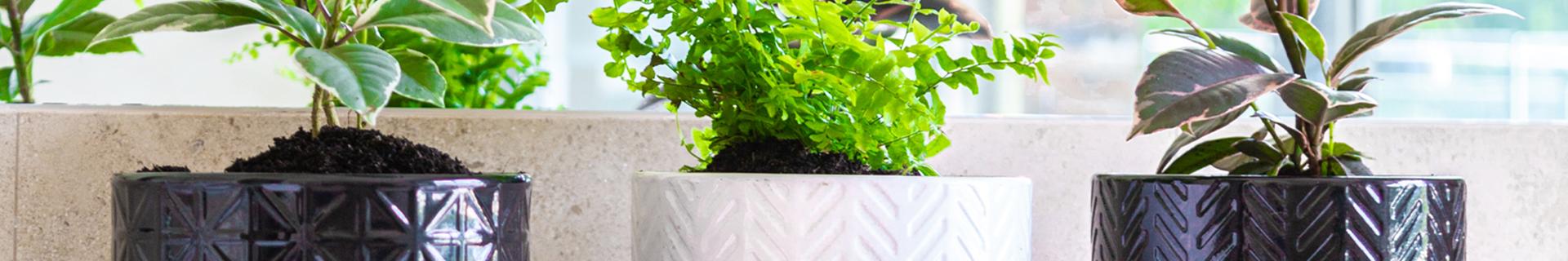 Three plants in small indoor pots