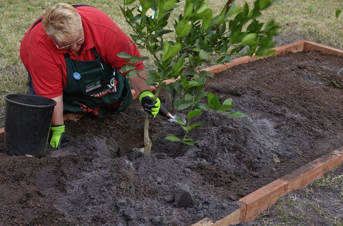 A Bunnings team member positioning a fruit tree into a hold dug in a garden bed