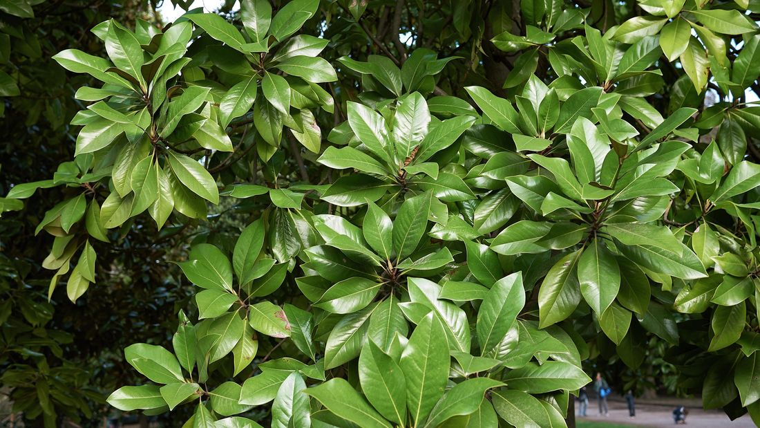 A deciduous magnolia tree.