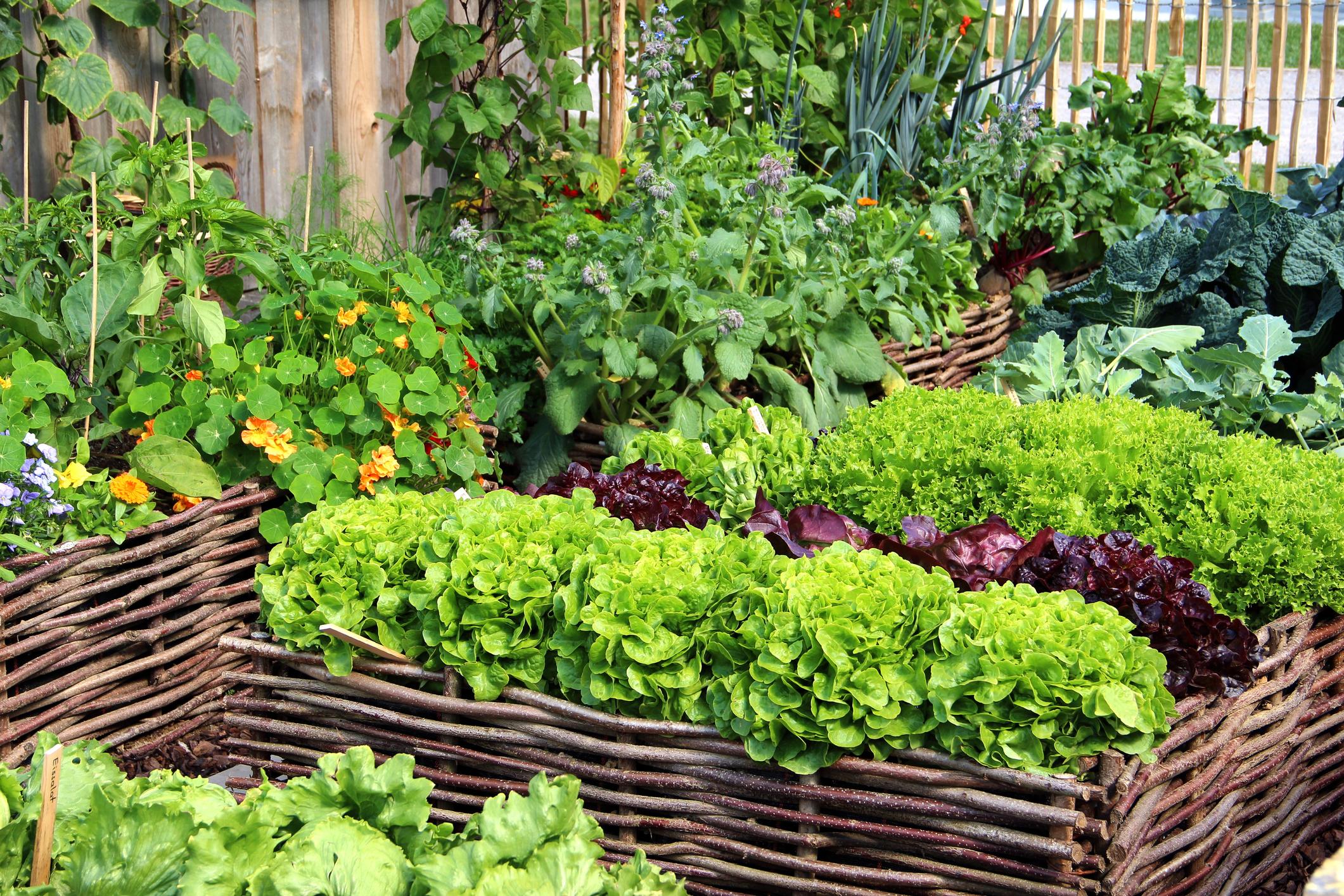 Planter boxes full of vegetables
