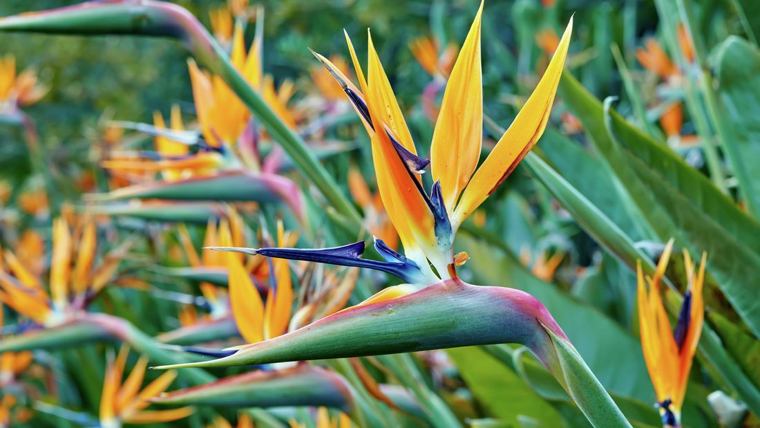 Vivid and stunningly colourful bird of paradise flowers in orange and purple.