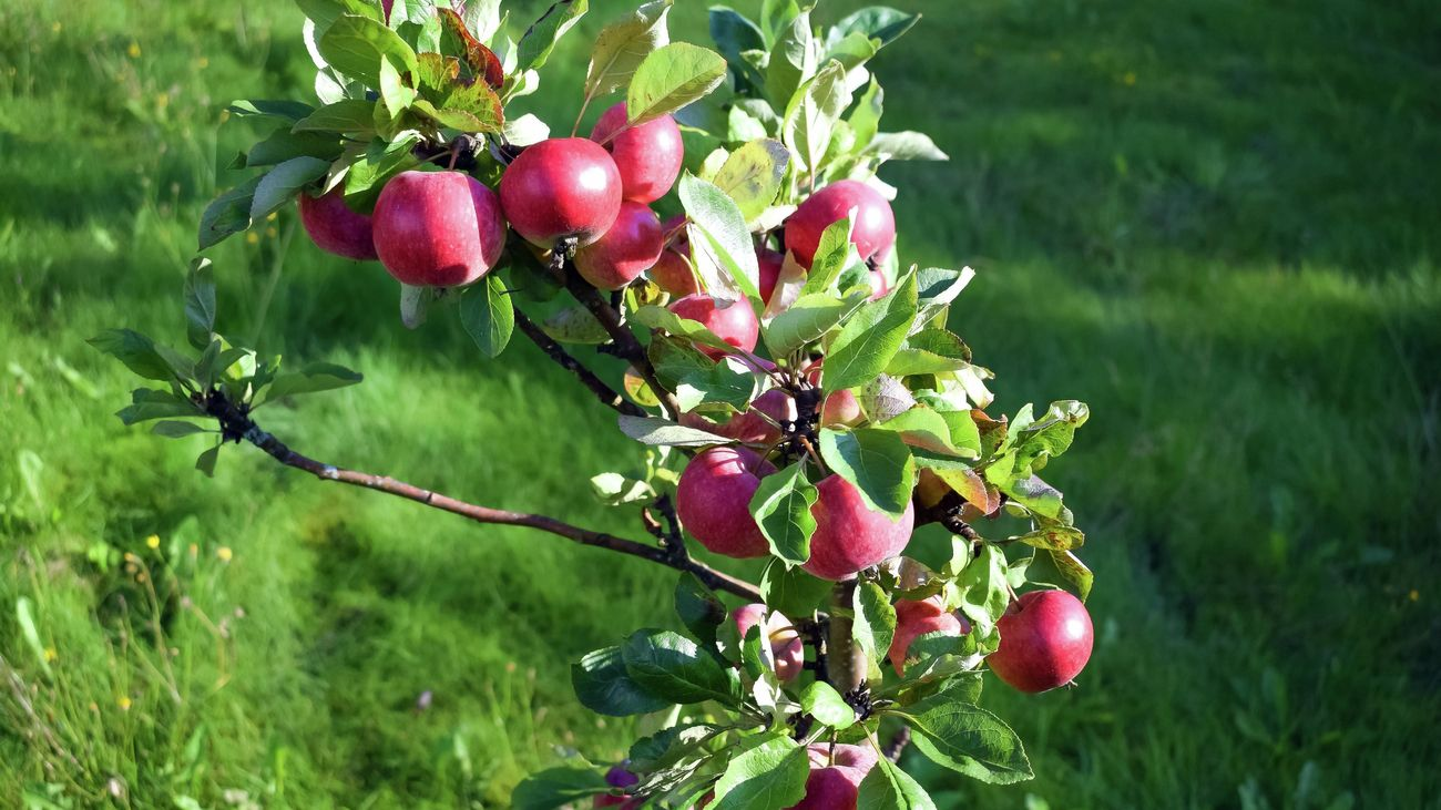 Red apples growing on a dwarf tree