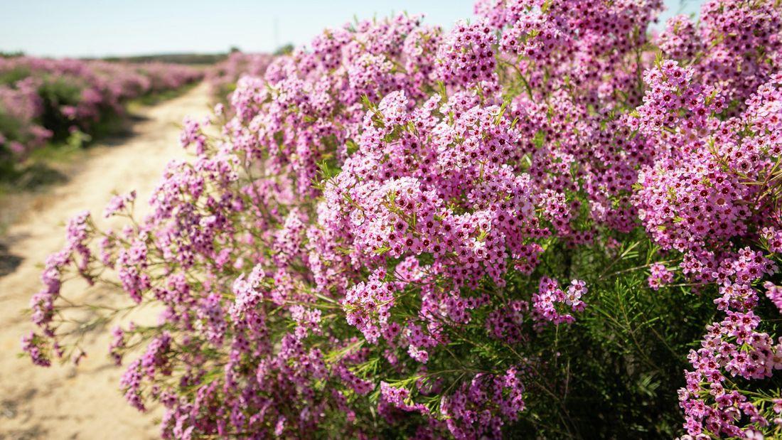 Masses of purple flowers of Chamelaucium 'Jambinu Zest' (Geraldton wax)
