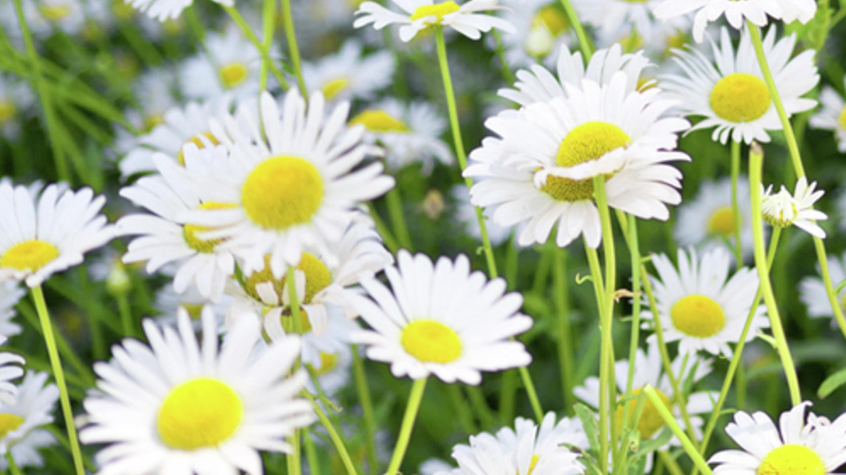 close up of a daisy