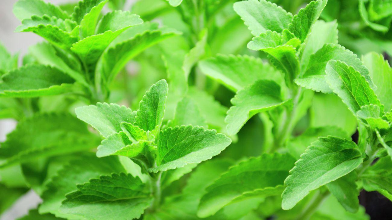 stevia leaves on plant