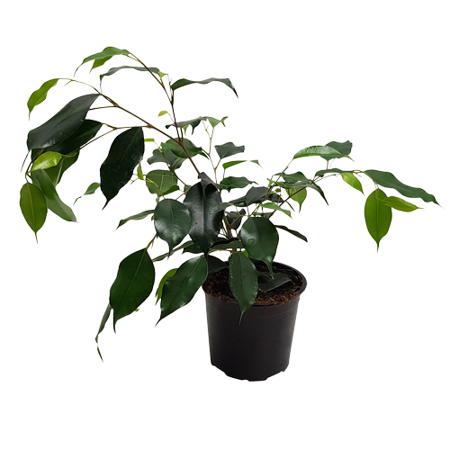 120mm Weeping Fig - Ficus danielle