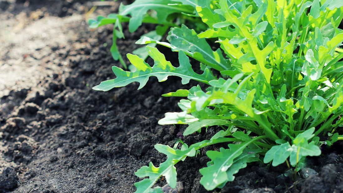 Rocket (arugula) growing in a garden