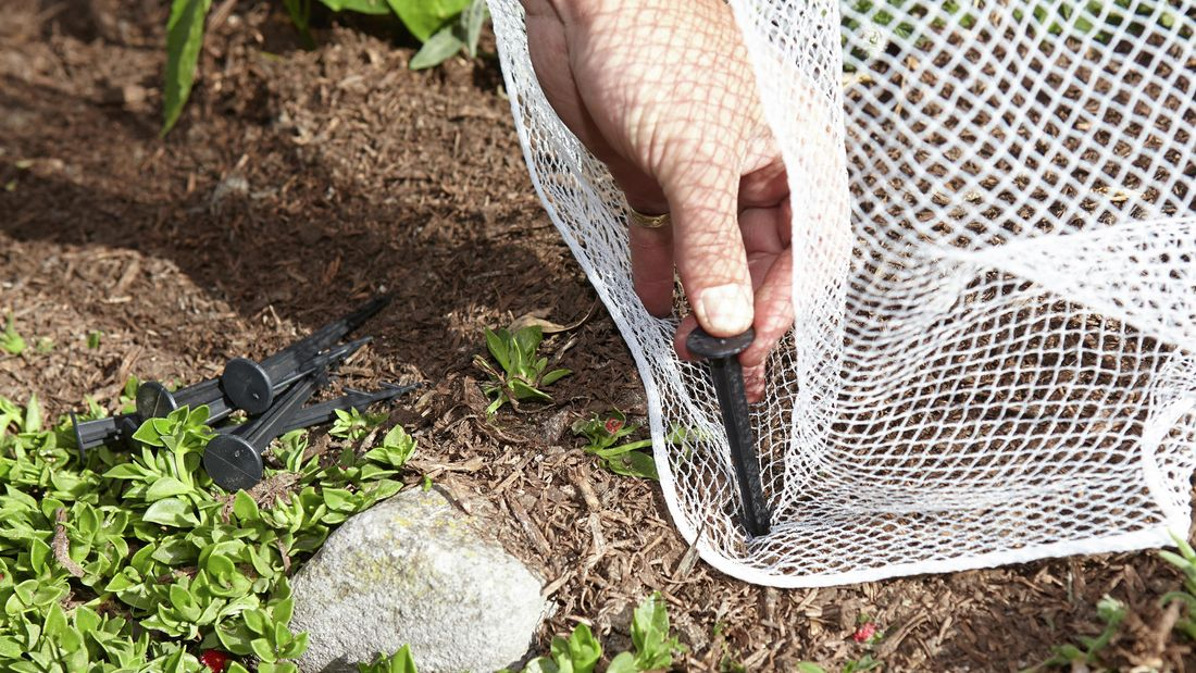 A person inserting a plastic peg into the edge of bird netting on the ground
