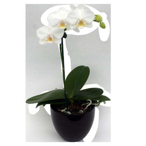 90mm Moth Orchid In Ceramic Pot - Phalaenopsis