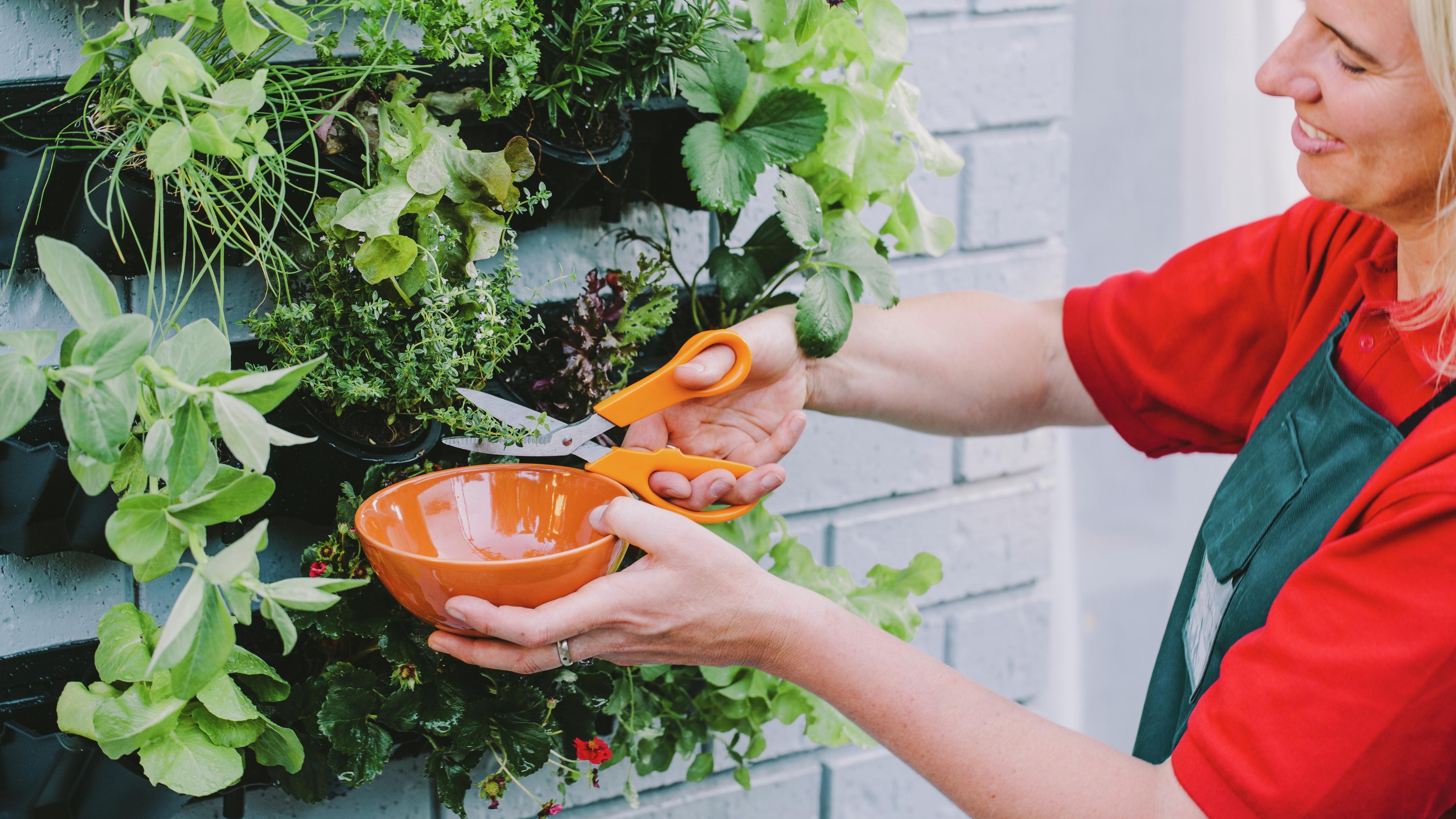 Person cutting herbs from vertical garden.