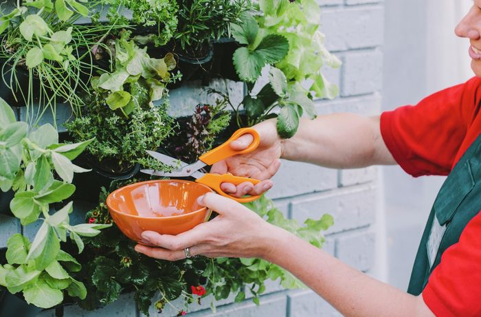 Herbs in a vertical garden being trimmed into a ceramic bowl with garden shears