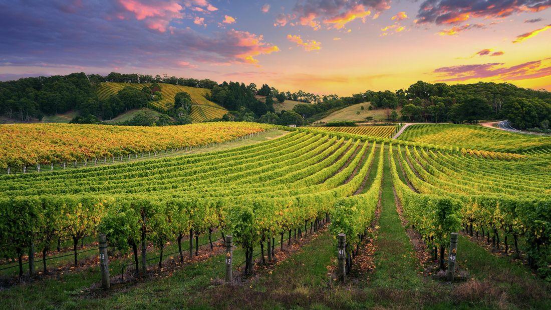 Vineyard with grape vines