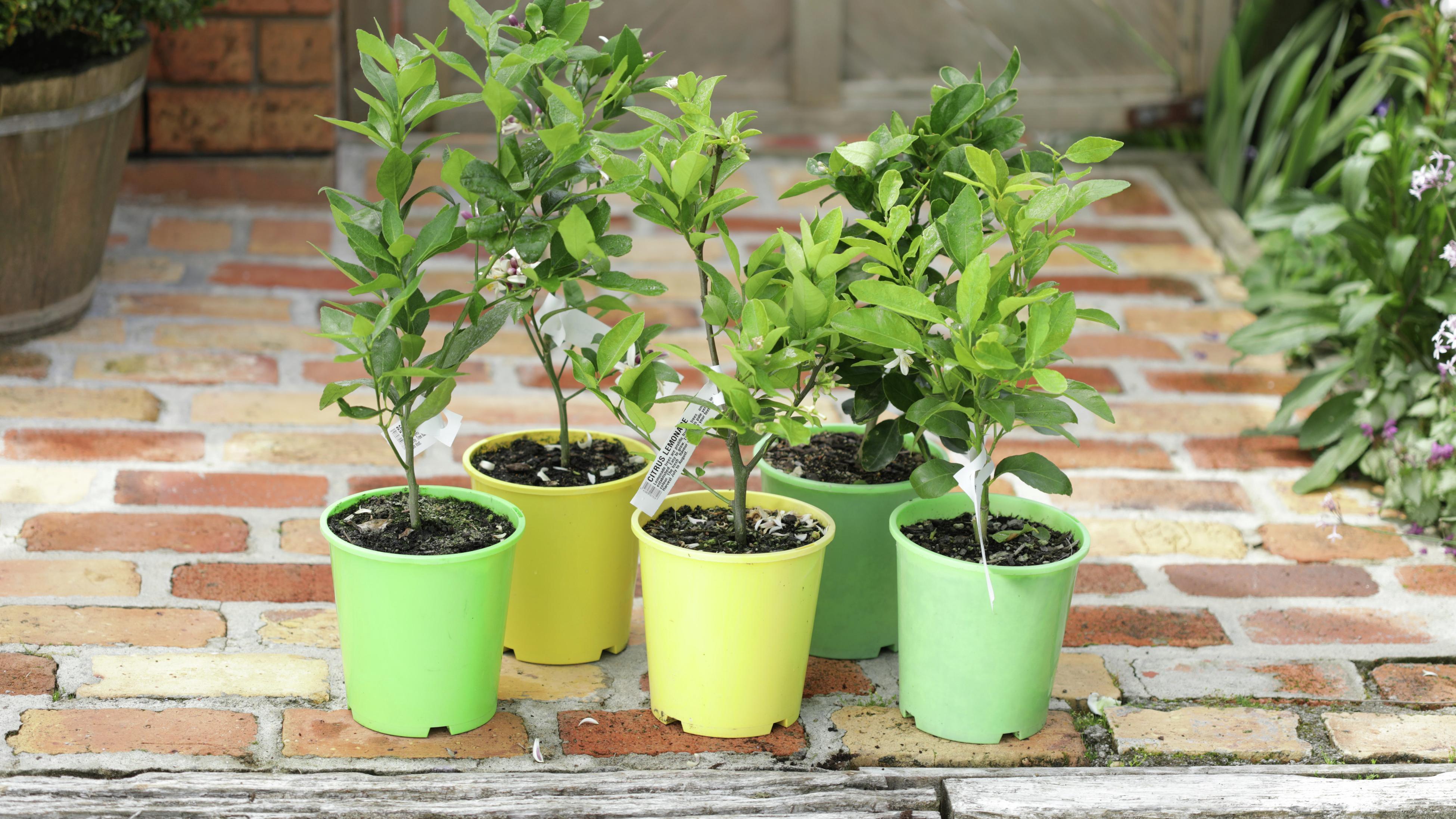 Potted citrus plants.