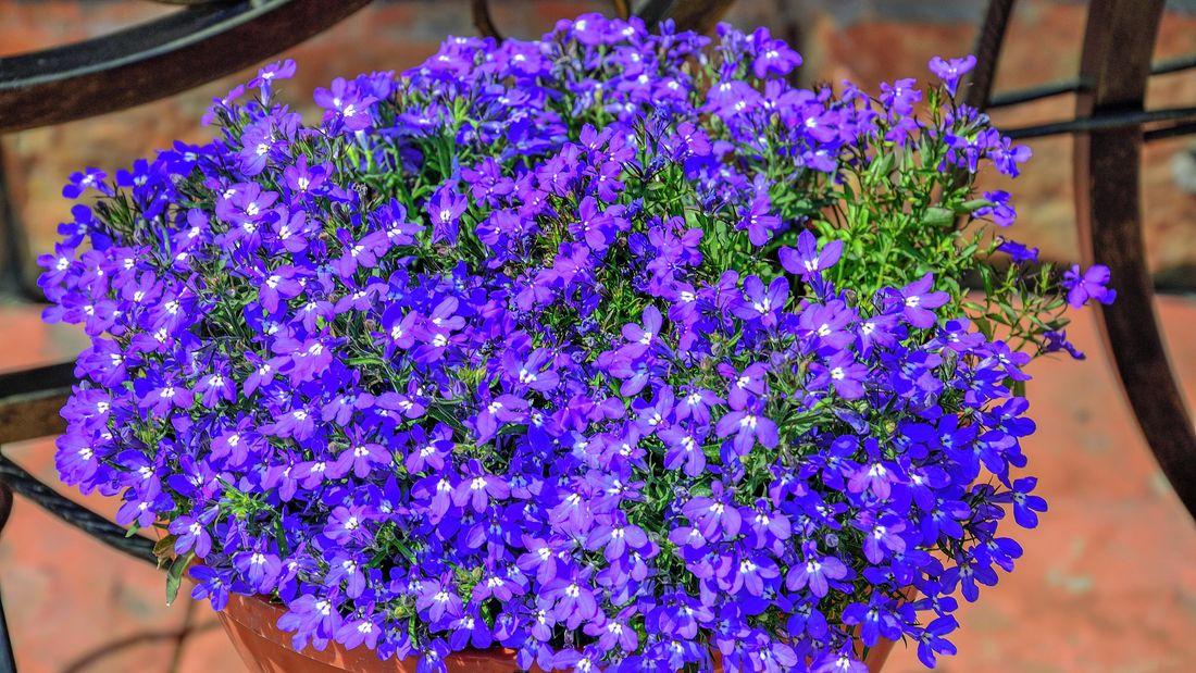 Purple lobelia flowers in a hanging basket