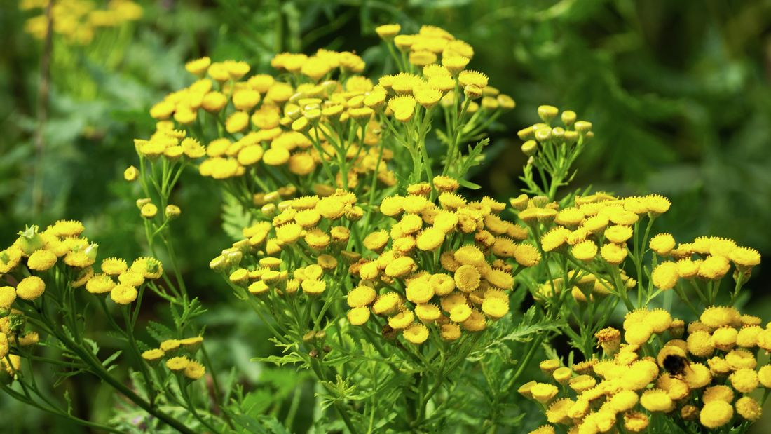 A clump of yellow tansy growing in a garden