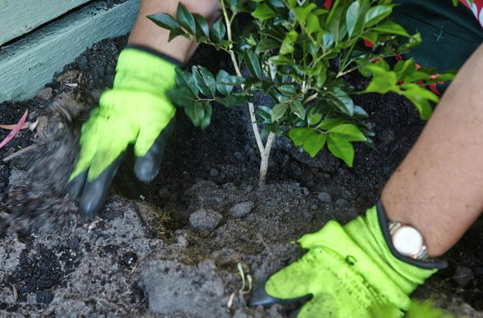A hedge plant being put into place in a garden bed