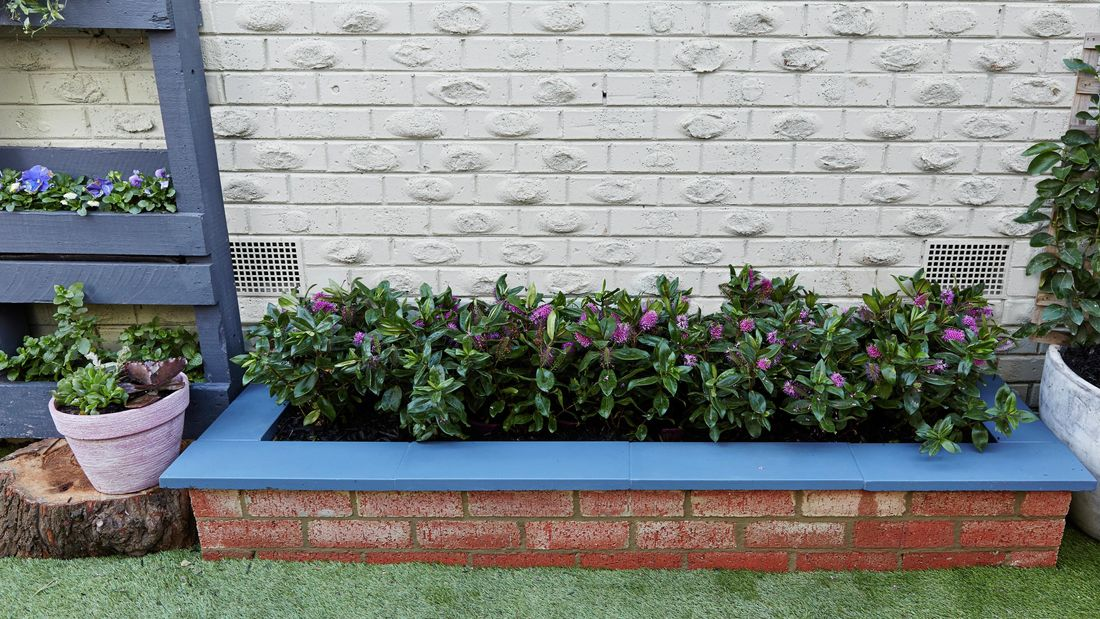 Outdoor brick planter with a blue tile edge, filled with bottlebrush plants