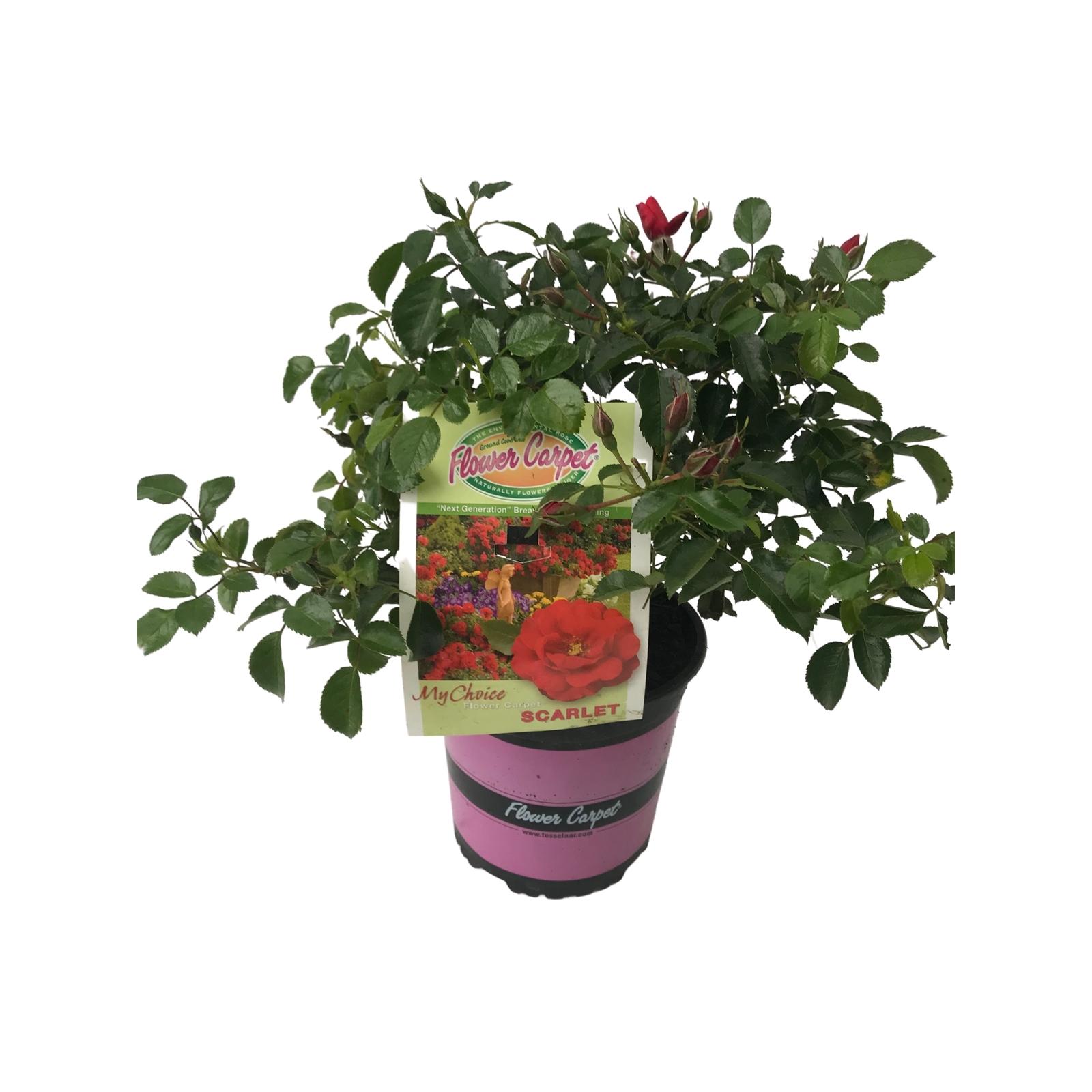 2.5L Carpet Rose Scarlet - Rosa
