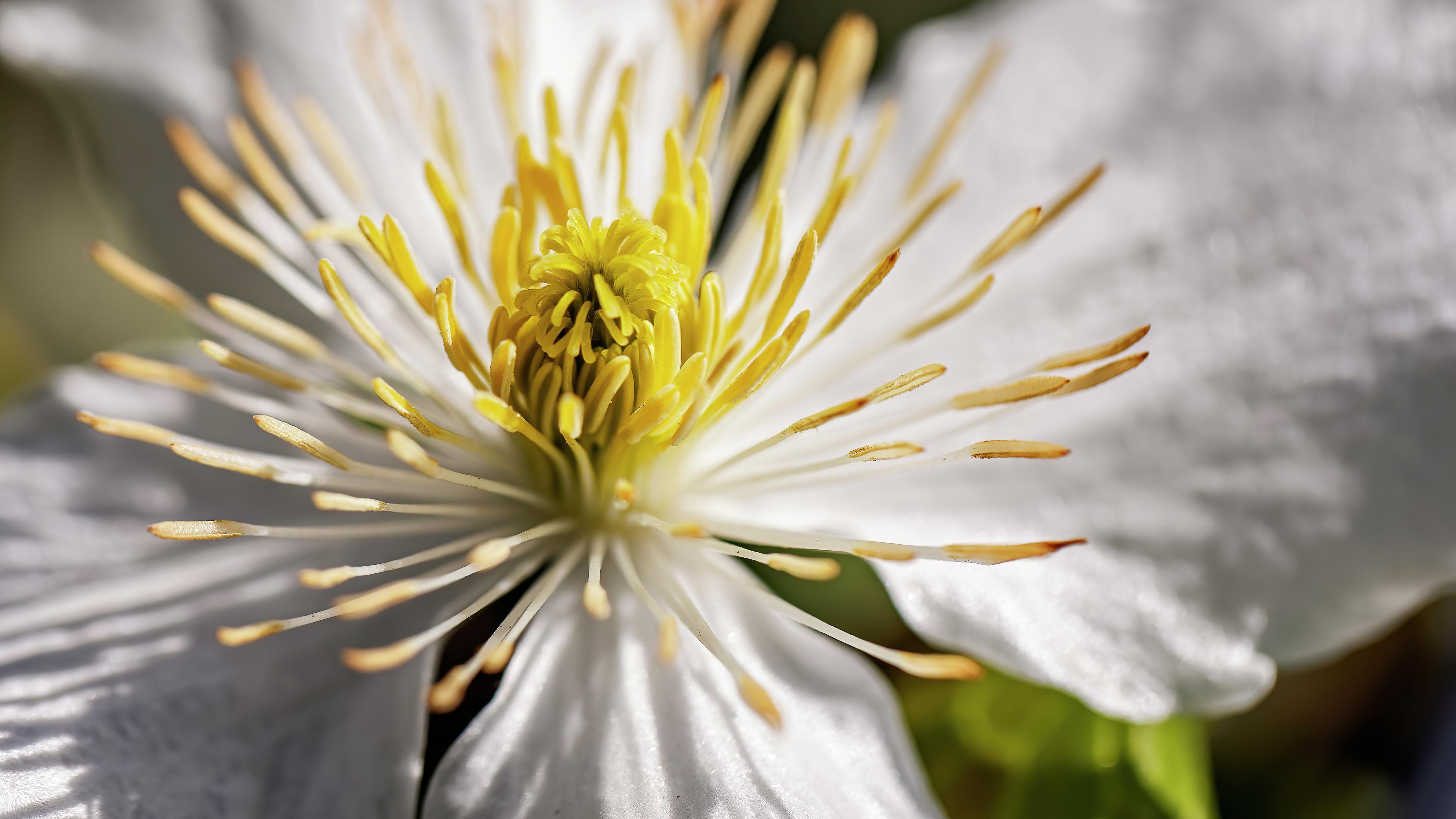 Macro shot of a white flowering clematis