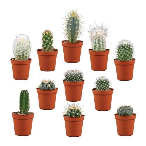 Plant Cacti Assorted 5.5cm