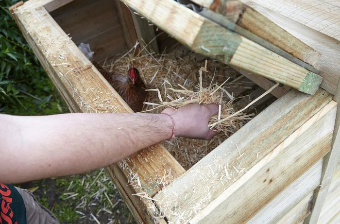 Loose hay being added to a raised area of a chicken coop via the access hatch, while a chicken inside looks on