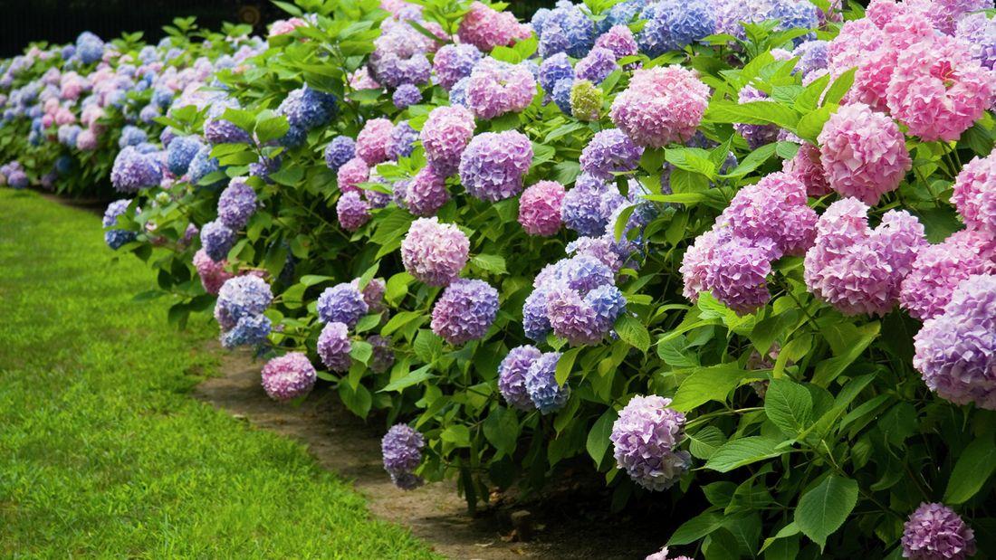 Colourful hydrangea flowers in the garden