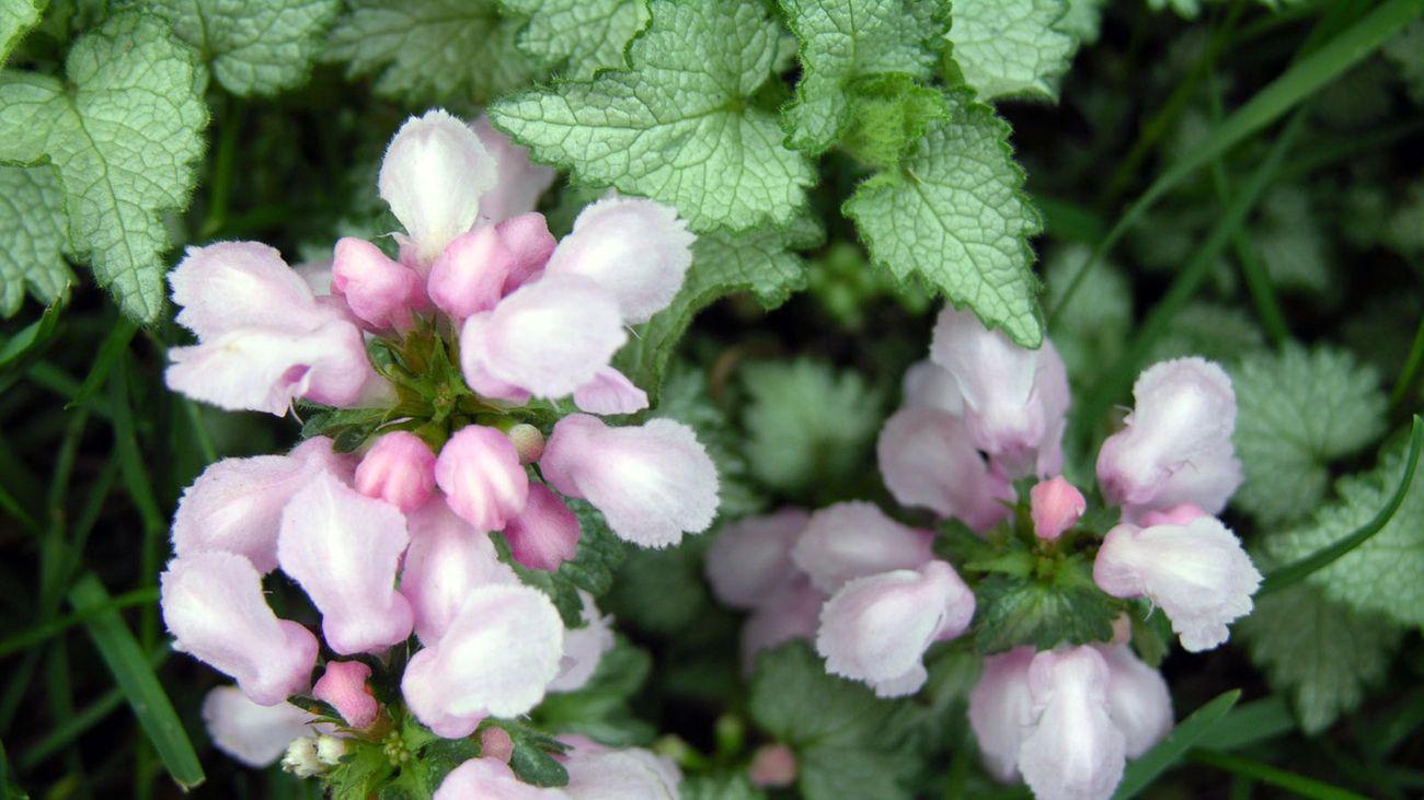 A soft pastel pink lamium plant in flower.