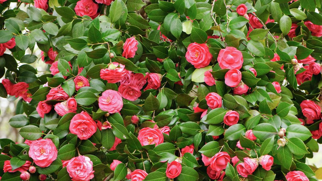 A bushy camellia tree with many pink flowers.