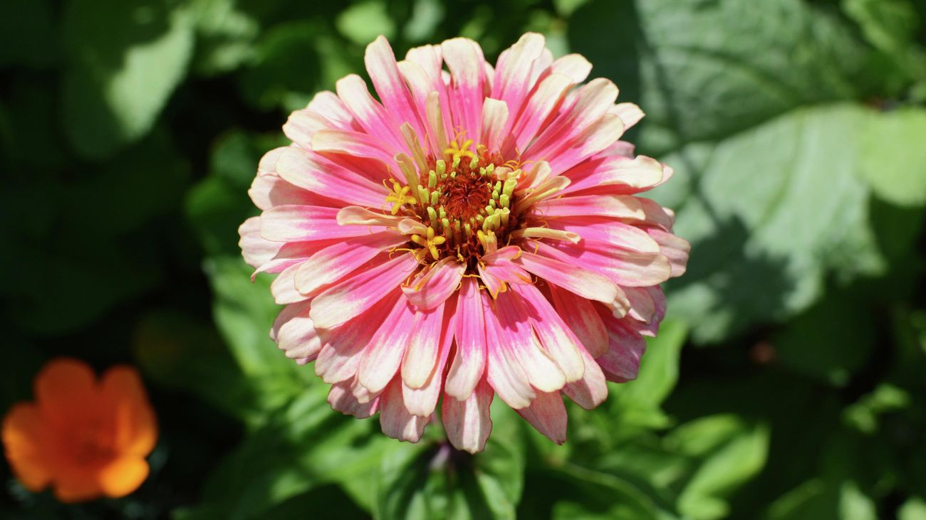 A pink zinnia flower with white petal tips